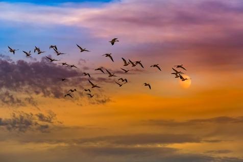 Les oies blanches en migration à Victoriaville
