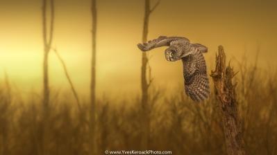 Approche artistique de la photo animalière avec cette chouette lapone prise en vol dans son environnement.