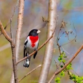 Cardinal à poitrine rose