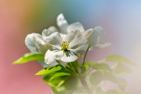 #appletreeflowers #appletree #fiftyshadesofnature #pretty_shotz #beautiful_flowers #macrophotographylove #naturelovers #macrophotographyworld #macro_mania #macro_art #macroart #macro_love #stilllifephotography #jardinbotanique #jardinbotaniquemontreal #botanical #botanicalphotography #macro_creative_pictures #bpa_closeup #blissfulphotoart #bpa_nature #belazydaisy #macro_brilliance #magic_marvels #still_life_nature #macro_perfection #raw_macro #macro_in_light #bestmacro #flowersandmacro #yveskeroackphoto #studiophotography #commercialphotography #productphotographer #productphotography