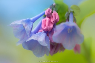 Jacinthe de Virginie Jardin botanique de Montréal, 29 mai 2019 Canon 5D-III, Canon EF100mm, 1/400, f/5, ISO 400, éclairage naturel ----- Virginia bluebells Montreal Botanical Garden, May 29, 2019 Canon 5D-III, Canon EF100mm, 1/400, f/5, ISO 400, natural light