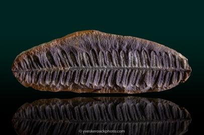 Fougère fossilisée. Empilement de 6 images
