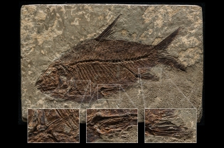 Poisson préhistorique fossilisé sur une plaque de 126 mm x 83 mm. Empilement de 3 images pour une netteté uniforme ---- Fossilized prehistoric fish on a 126 mm x 83 mm plate, 3 images focus stacking for perfect sharpness all across ---- See my other Products photos here: https://yveskeroackphoto.com/creations/⠀⠀ ⠀⠀ To inquire about a shooting, please contact me by email at yves.keroack@me.com