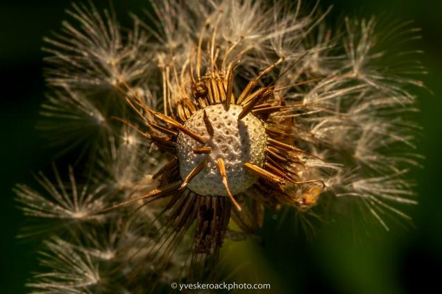 Jardin botanique de Montréal, 8 juillet 2019 ----- Montreal Botanical Garden, July 8, 2019 📸 Canon 5D-III Canon EF100mm 1/200, f/11, 100mm, ISO 800 👉 Pour voir d'autres photos Nature, visitez mon site: For more Nature photos, please visit my website at: https://yveskeroackphoto.com/nature/ 👉 Pour toute demande, SVP me contacter à:⠀ For inquiries, please contact me by email at: yves.keroack@me.com #dandelionphotography #fiftyshadesofnature #pretty_shotz #beautiful_flowers #macrophotographylove #naturelovers #macrophotographyworld #macro_mania #macro_art #macroart #macro_love #stilllifephotography #botanical #botanicalphotography #macro_creative_pictures #bpa_closeup #blissfulphotoart #bpa_nature #belazydaisy #macro_brilliance #magic_marvels #still_life_nature #macro_perfection #raw_macro #macro_in_light #bestmacro #flowersandmacro #yveskeroackphoto #dark_macro_art